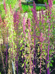 Campesino Quinoa: Rows to 6 ½ ft with pink, red and green seedheads. Light-colored seed is larger than any other variety except Apellewa. Strong reliable grower. A workhorse variety with a good balance of seed size, flavor, yield, and biomass. Our exclusive.