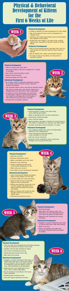 "A kitten's antics aren't just adorable and enticing; they're a roadmap to physical and behavioral development. Make sure the kittens in your care are on the right track with this infographic based on Dr. Susan Krebsbach's ""From Helpless Newborn to Skilled Acrobat: Feline Development and the Orphaned Kitten"": - See more at: http://maddiesinstitute.typepad.com/chewonthis/2013/06/kittens-the-first-six-weeks-"