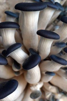 Blue Oyster Mushrooms (Plueurotus columbinus) Edible species of mushroom.