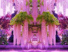 A purple wisteria flower garden in Japan...