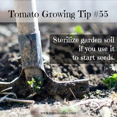 Growing tomato plants from seeds is not that difficult and it is extremely rewarding. Phenomenal Growing Tomatoes from Seeds Ideas. Growing Tomatoes From Seed, Growing Tomatoes In Containers, Grow Tomatoes, Garden Soil, Garden Beds, Garden Plants, Nature Plants, Flowering Plants, Garden Roses