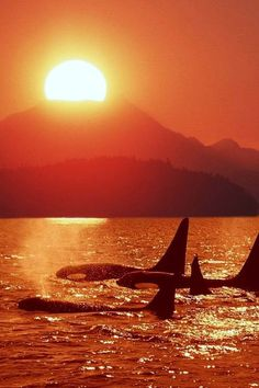 Orca pod at sunset.