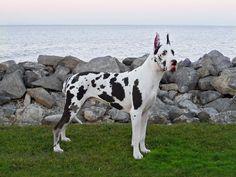 Mantle Great Dane, Great Dane Dogs, Pets 3, Big Animals, Fire Starters, Gentle Giant, 2 Months, Big Dogs, Mans Best Friend