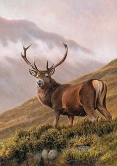 Hutchinson / Red deer stag
