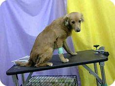 San Bernardino, CA - Golden Retriever/Spaniel (Unknown Type) Mix. Meet URGENT 9/15 (PISTON), a dog for adoption. http://www.adoptapet.com/pet/11551922-san-bernardino-california-golden-retriever-mix