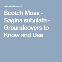 Scotch Moss - Sagina subulata - Groundcovers to Know and Use