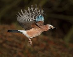 Beautiful Jay Bird