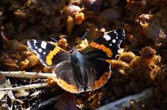 Butterflies has the last moment to fly in September. admiral Petri Niittymäki