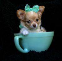 Teacup Chihuahua puppy! OMG i will own one of these precious babies one day!!
