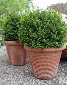 French Basque Terracotta Rope Pots - traditional - outdoor planters - - by Detroit Garden Works Potted Plants Patio, Boxwood Plant, Pot Plants, Potted Trees, Outdoor Planters, Garden Planters, Planter Pots, Potted Garden, Box Wood Shrub