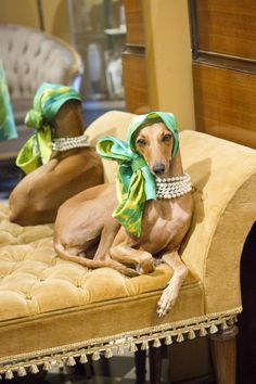 Meet Iggy Joey, Fashion Icon and famous Italian Greyhound. Animals And Pets, Funny Animals, Cute Animals, Dog Love, Puppy Love, Magyar Agar, Italian Greyhound, My Animal, Cute Dogs