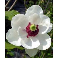 Åkandetræ (Magnolia sieboldii) CO 10 ltr. 80 -100 cm - Planteshop