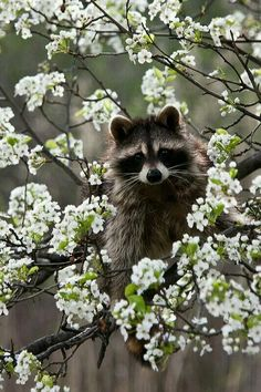I like this picture because the color of the raccoon contrasts the color of the flowers. But there's other things to focus on instead of the raccoon, such as the flowers. All Gods Creatures, Cute Creatures, Beautiful Creatures, Animals Beautiful, Photo Animaliere, Tier Fotos, Nature Animals, Wild Animals, My Animal