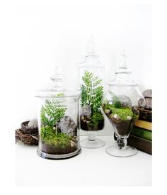 Apothecary Jar Terrarium Set Live Moss Volcanic by DoodleBirdie, $175.00 - definitely making a few of these! (:
