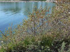 Havtorn, Hippophae rhamnoides - Träd och buskar - NatureGate