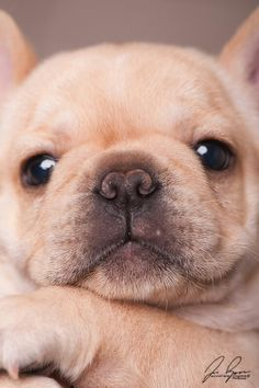OMG the puppy is sooooo cute! Bulldog Puppies, Cute Puppies, Dogs And Puppies, Animals And Pets, Baby Animals, Funny Animals, Beautiful Dogs, Animals Beautiful, Pet Dogs