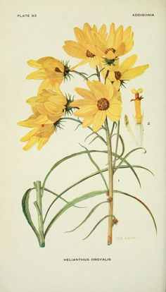 Helianthus orgyalis. Addisonia : colored illustrations and popular descriptions of plants v. 3 1917. New York :New York Botanical Garden,1916-[1964]. Biodiversitylibrary. Biodivlibrary. BHL. Biodiversity Heritage Library
