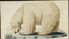Polar Bear (Bechstein, 1803)  HAB have got four volumes of a natural history book series issued in the early 1800s by Johann Bechstein.