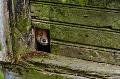 little fox and the abandoned house in finland overtaken by animals photographer kai fagerstrom Beautiful Creatures, Animals Beautiful, Cute Animals, Wild Animals, Animals Amazing, Wildlife Photography, Animal Photography, Photography Series, Photography Awards