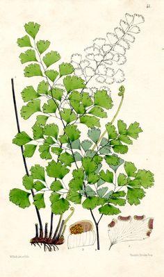 Maidenhair Fern (Adiantum), Ferns of Great Britain and Ireland, (England, 1861) botanical print