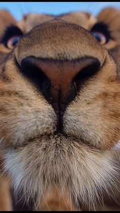 Lion Snootle - Wonderful World - Animales Nature Animals, Animals And Pets, Baby Animals, Beautiful Cats, Animals Beautiful, Cute Funny Animals, Cute Cats, Animal Noses, Lions Photos