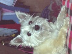 Tazzy Cairn terrier