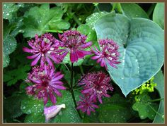Astrantia and a beautiful combination with Hosta