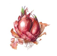 Susannah Blaxill - Botanical Artist