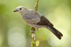https://flic.kr/p/ozpvfj | Palm Tanager | From northern Costa Rica - a Palm Tanager