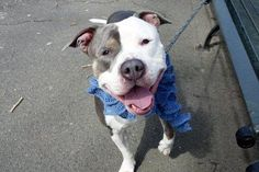 WHOPPER JR - A1107637 - - Manhattan  TO BE DESTROYED 04/18/17: ****CAN BE PUBLICLY ADOPTED**** A volunteer writes: Yes, that name was given to him at intake — maybe because he could use a couple of whoppers to help him gain a little weight? Whoppie is an amazing dog — I fell head over heels at hello, and it was all uphill from there! He's gorgeous, smart, friendly, good on leash, and seems to be housetrained. As soon as he went potty he looked up at me exp