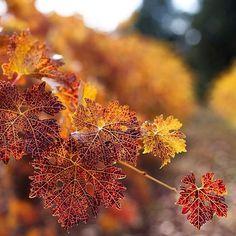 Fall Vineyard! 🍂  Photo by | @popejoys  #applehill#vineyard
