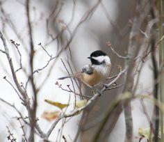 Sweet little Chickadee. #chickadee #bird #tweet #chirp #chatty #nature #wild #photo #photograph