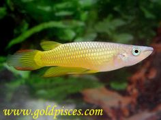 "Striped panchax Killifish  Tank Size: 30 Gallons  Size: 4""  Temperature: 76-80°F   pH 6.0 – 7.0  Hardness: 5-20 NK°  Lifespan: 4 years  Tank Region: Top  Population: 4-5 fish per 30 gallons  Notes: Likes floating plants to hide in. You need a good lid on your tank and might want to lower the water level an inch or two because these fish are good jumpers."