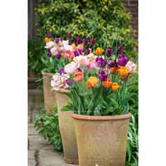 Brandy Snap Tulip Collection