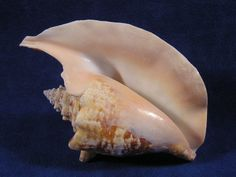 Ocean Conch | Aperture or mouth of a strombus gallus rooster tail conch sea shell.