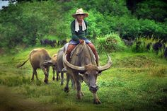 When I lived in the PI we might wake up in the morning to find one of these might beast grazing in the yard. Islamic Society, Philippines Culture, Filipino Culture, Mindanao, Water Buffalo, Art Challenge, Asia Travel, Disney Art, Southeast Asia
