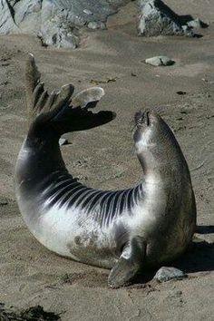 Sassy seal
