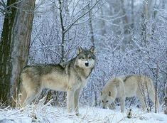 雪原に狼はよく似合う。