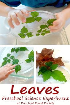 Preschool science experiment with leaves! Great investigation for great minds in little bodies! Also makes a fun STEM activity! Part of the Virtual Book Club for Kids!