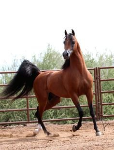 Arabhorse.com - LC Athens - Midwest Station I - Arabian Horse