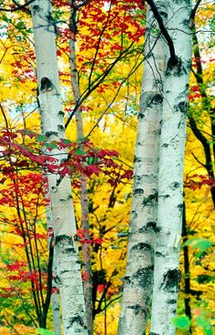 Fall in New England | White birches against a background of luminous red, orange, gold, and yellow foliage.m