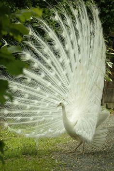 Rare albino peacock