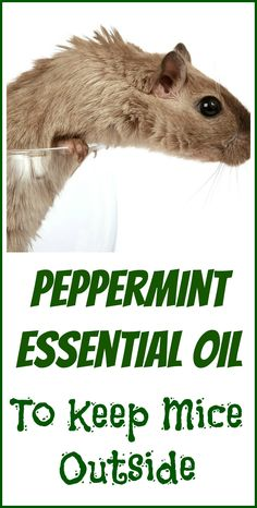 How to use peppermint essential oil as a natural mice repellent.