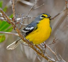 Adelaide's Warbler (Setophaga adelaidae) - Puerto Rico