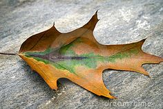 Single autumn leaf in the midst of changing.