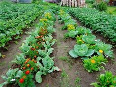 Companion Planting With Vegetables and Flowers. The right plant combos will save space and provide weed and pest control. Each spring, I grow legions of… Bee Friendly Plants, Companion Planting, Market Garden, Raised Vegetable Gardens, Farm Gardens, Growing Vegetables, Plants, Planting Flowers, Organic Gardening