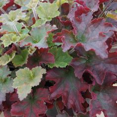 Heuchera 'Red Dress' from the Chelsea Gold Medal winning nursery Plantagogo, which is also the holder of the National Collection for Heuchera, Heucherella and Tiarella. Perennial Flowering Plants, Shade Perennials, Shade Plants, Nature Plants, Foliage Plants, Exotic Plants, Tropical Plants, Horticulture, Beautiful Gardens