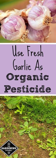 Skip Out On Toxic Pesticides, Here's How to Use Garlic Instead! Garlic is a plant that has so many benefits, but did you know that garlic can be used as a natural pesticide? Try using this to keep weeds out of your garden. Slugs In Garden, Garden Insects, Garden Pests, Garden Water, Pesticides For Plants, Natural Pesticides, Organic Vegetables, Growing Vegetables, Organic Plants