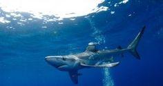 Segredos de Portugal: Mergulhar com tubarões nos Açores