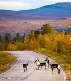 Reindeer on the road, Northern Finland  You have to ride carefully when you see these ;)